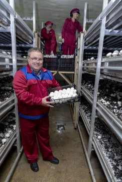 Владимир Иванов, один из создателей грибной фермы, демонстрирует свежий урожай с грядки. Сохранять высокое качество выращенных шампиньонов без применения химии работникам помогают, помимо строгого соблюдения гигиены производства, минимальное количество касаний к грибу при сборе и упаковке, предварительное охлаждение продукции до +200С в первые 30 минут после сбора, оптимальный режим хранения до реализации и быстрая доставка конечному потребителю специальным транспортом