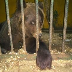 Ёху подкинули на порог зоогалереи, когда она была маленьким медвежонком