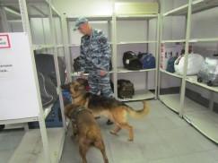 Собаки обнюхивают пассажиров, ручную кладь и сумки в камере хранения и на багажной ленте.