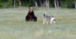 Медведь немало удивлён смелостью лайки