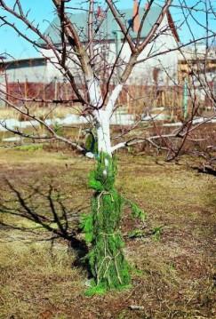 Надежный способ защитить стволы деревьев и саженцев осенью  от грызунов — обмотать стволы хвойными ветками иголками вниз.