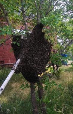 В этом сезоне пчеловоды только успевали собирать вылетавшие из ульев новые рои